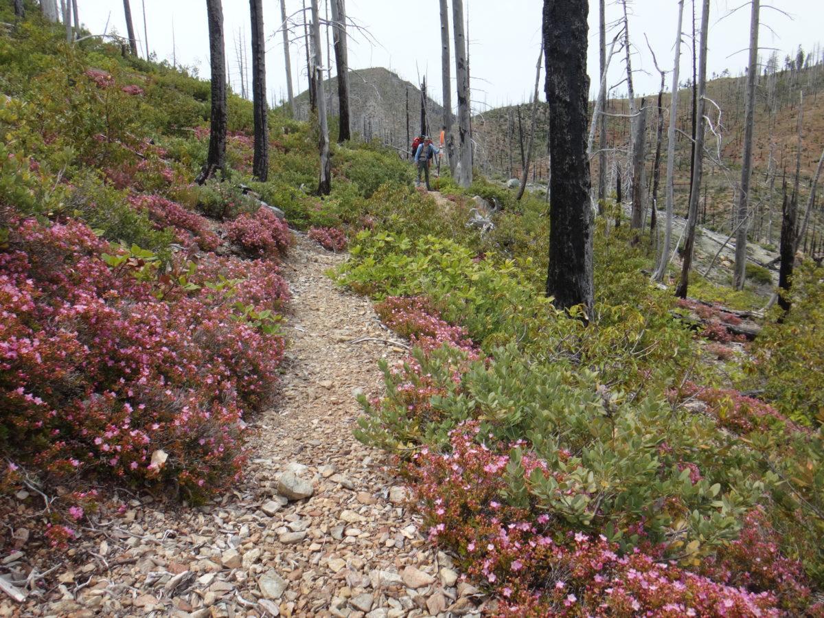 Babyfoot Lake trail, flanked by vigorous Kalmiopsis leachiana