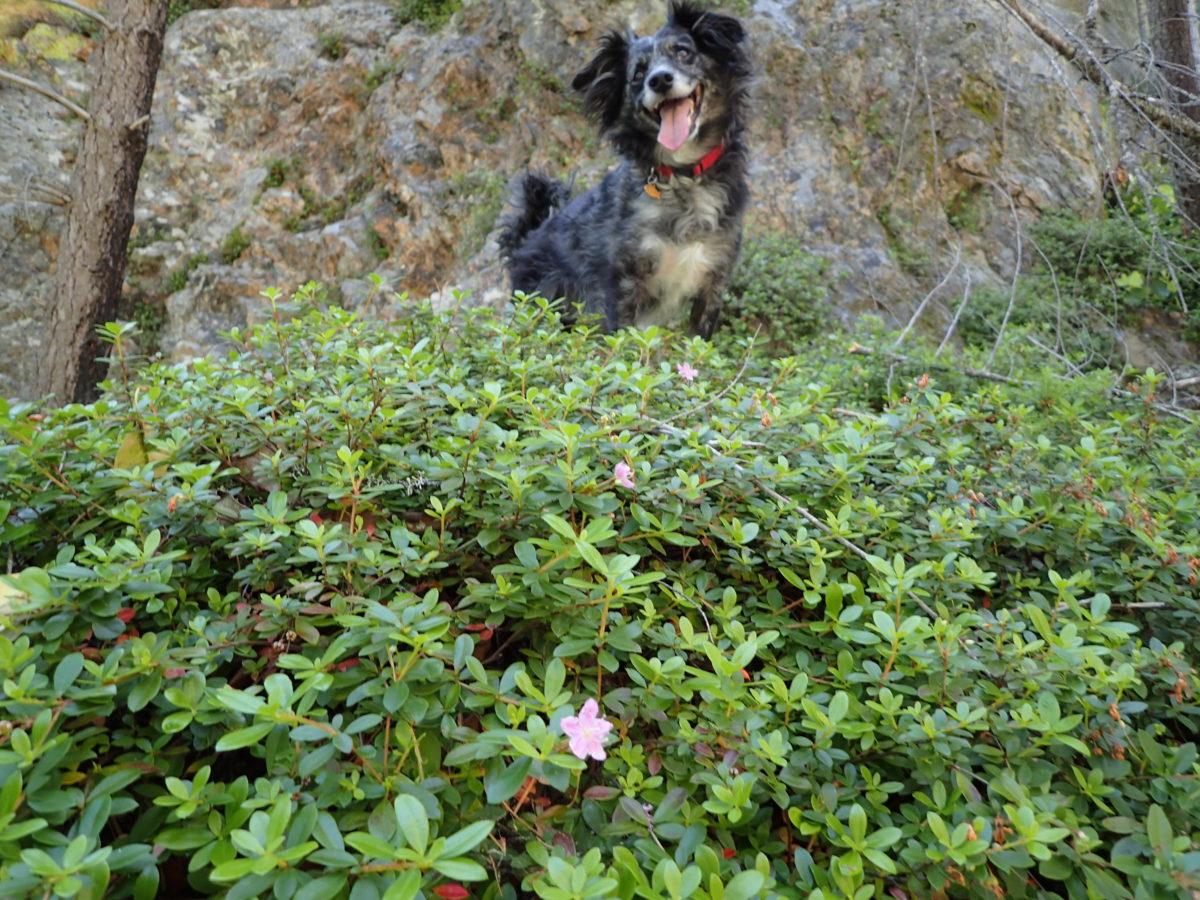 Kalmiopsis fragrans, Limpy Rock population